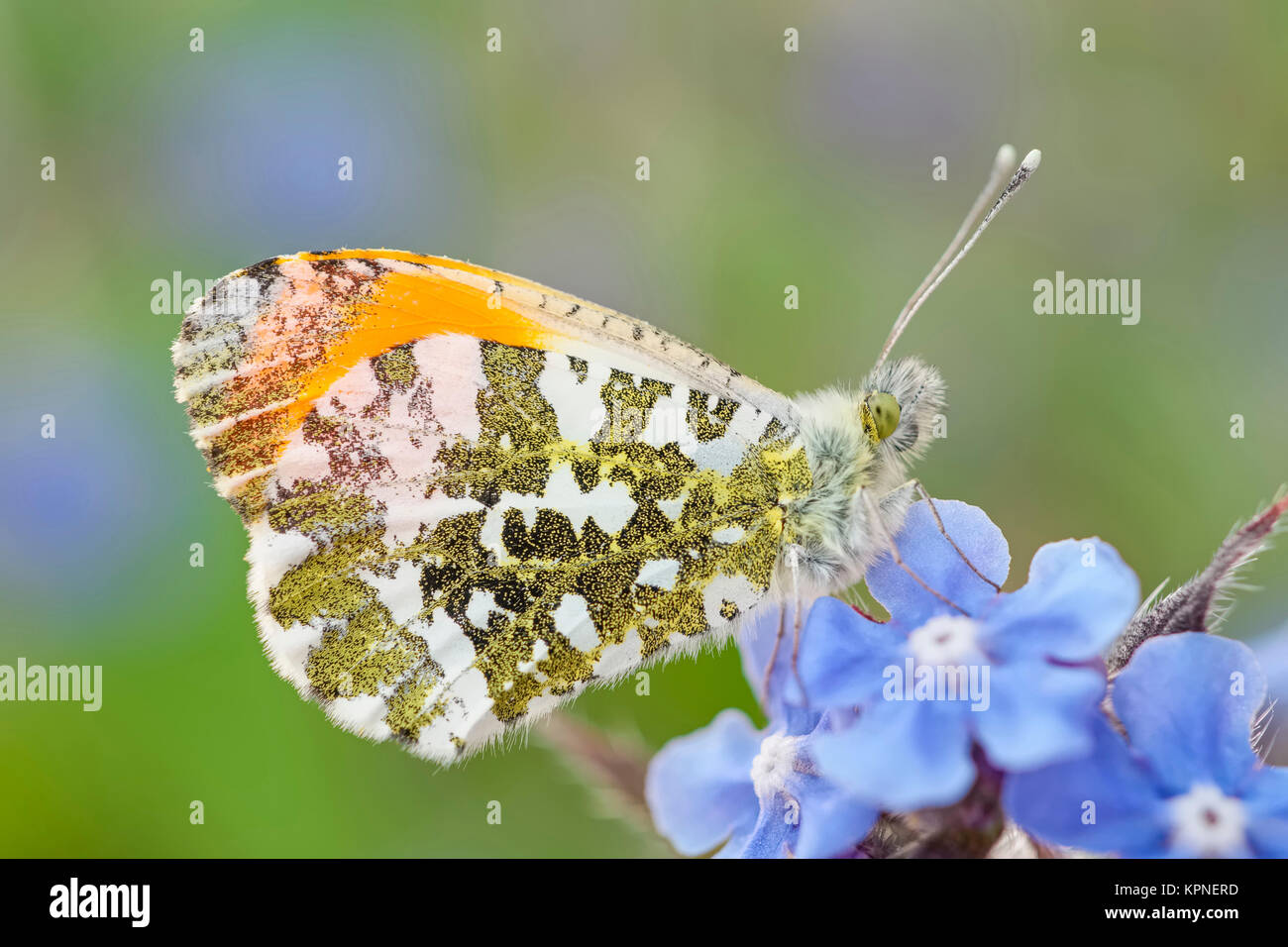 Male orange-tip butterfly resting on Forget-me-not flowers Stock Photo
