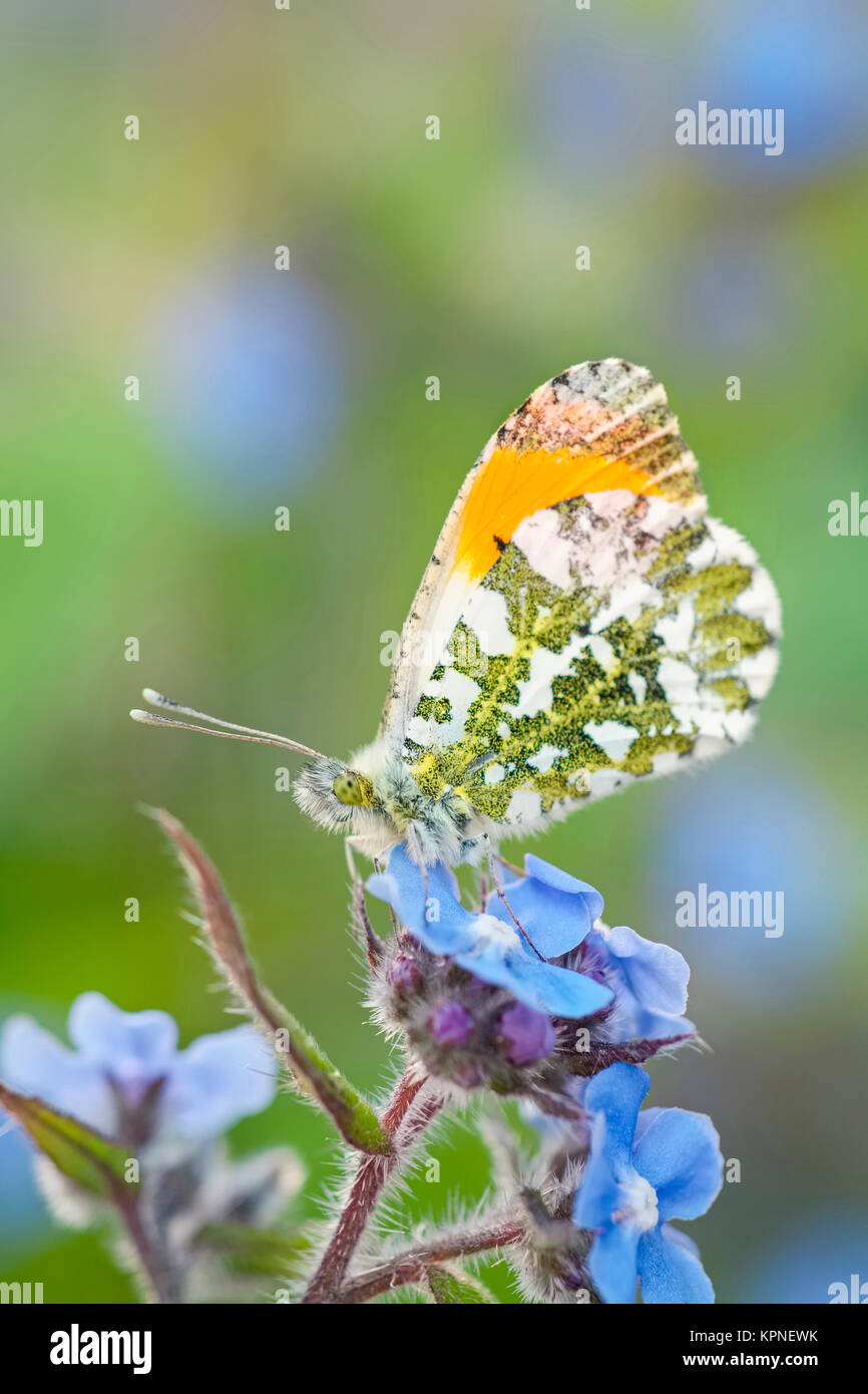 Male orange-tip butterfly resting on Forget-me-not flowers - Stock Image
