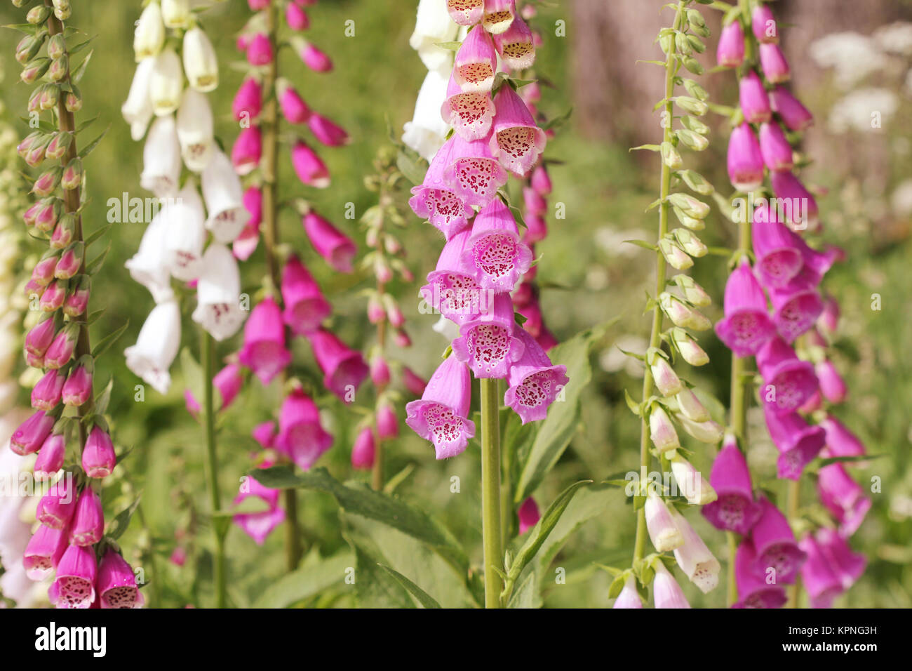 Pink Foxglove Flowers Digitalis Stock Photo 168889381 Alamy