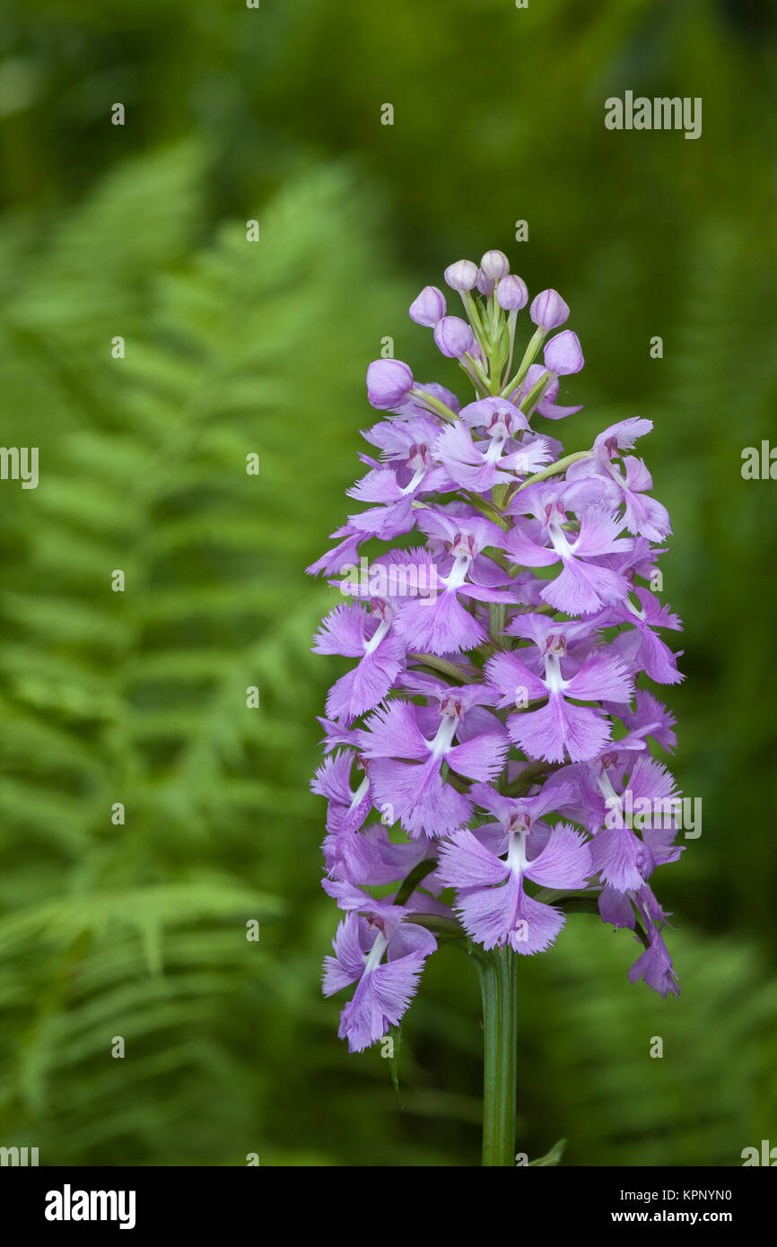 Greater Purple Fringed Orchid (Platanthera grandiflora) blooming in a fern filled glade in Bald Eagle State Forest, - Stock Image