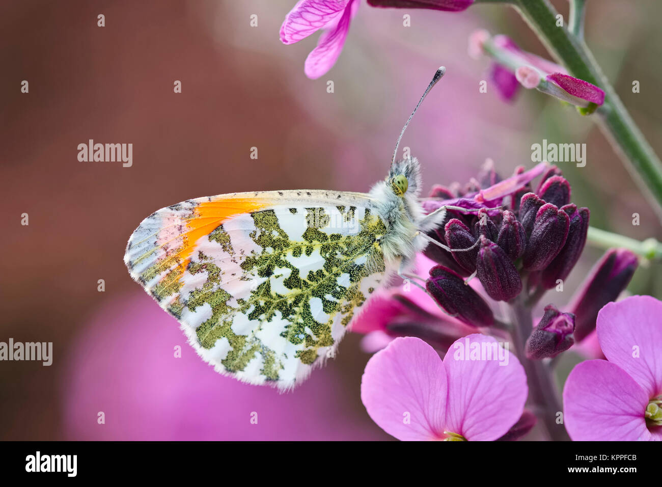 Male orange-tip butterfly resting on Erysimum 'bowles mauve' flowers - Stock Image