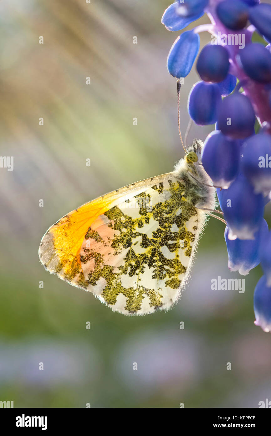 Male orange-tip butterfly resting on Grape Hyacinth flowers - Stock Image
