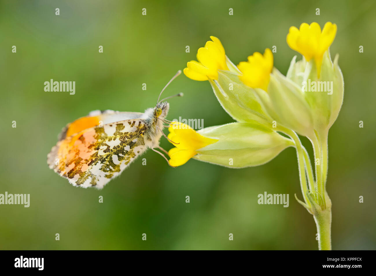Male orange-tip butterfly resting on Cowslip flowers Stock Photo