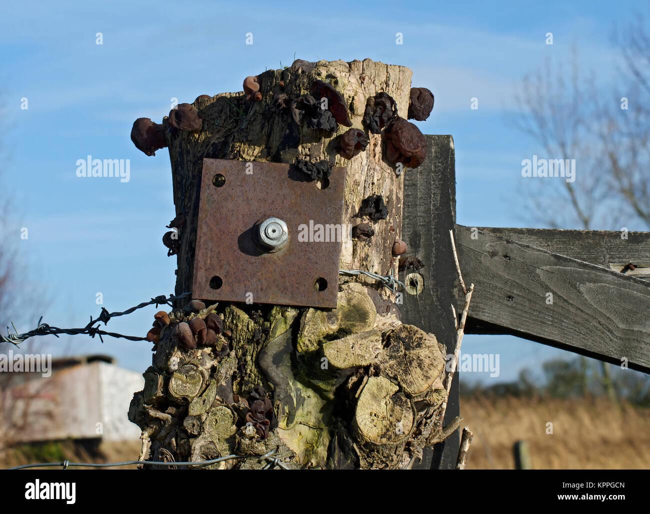 Black witches' butter, fungus, Exidia glandulosa, Exidia truncata, fruiting on old gatepost, Lancashire, UK - Stock Image