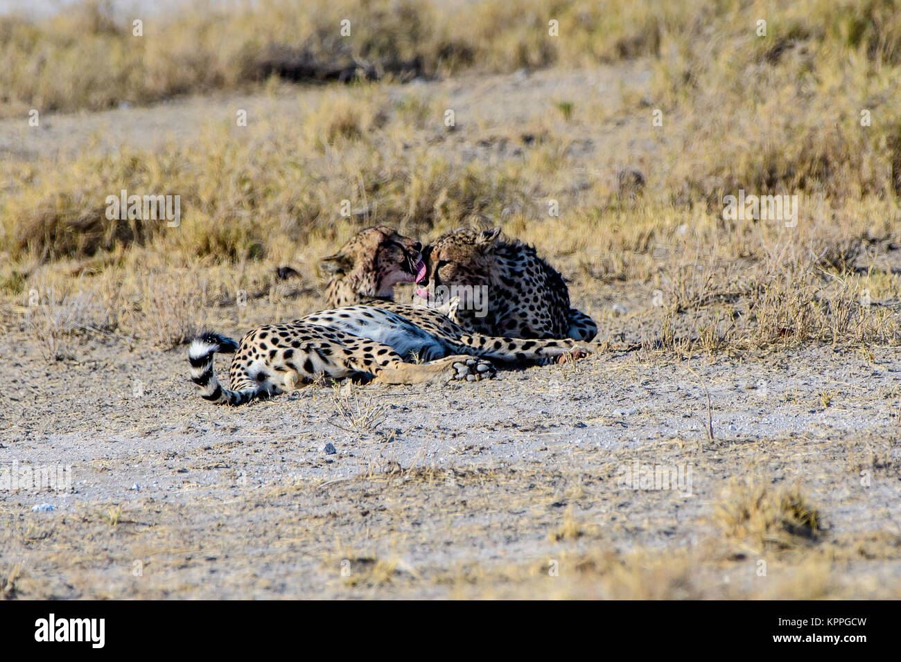 Cheetah brothers preening each other - Stock Image