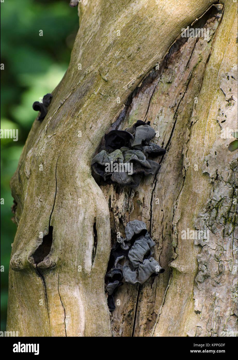 Black witches' butter, fungus, Exidia glandulosa, Exidia truncata, fruiting on dead tree, Lancashire, UK - Stock Image