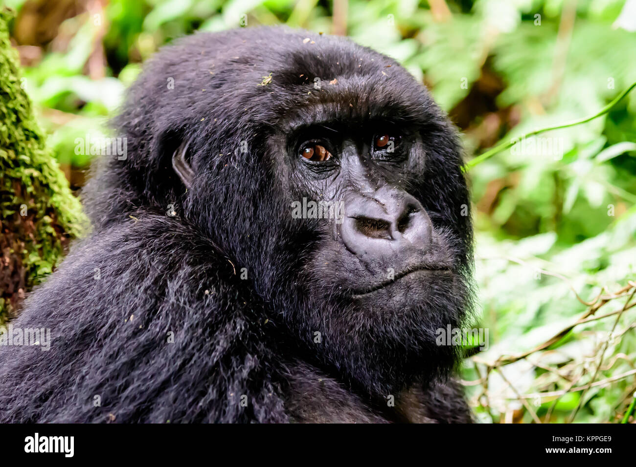 close up of the face of a mountain gorilla - Stock Image