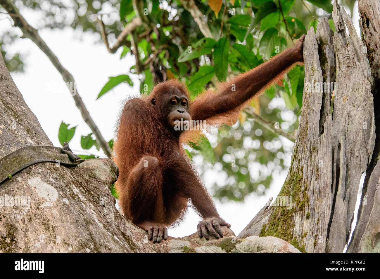 Orangutan watching from his perch in a tree - Stock Image