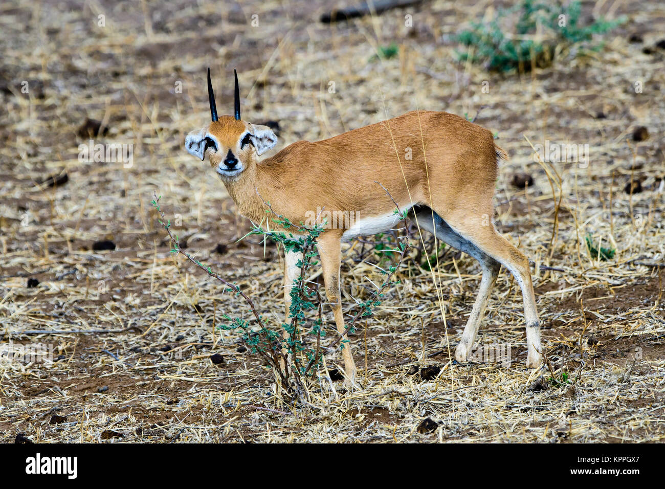 nervous steenbok looking with concern - Stock Image