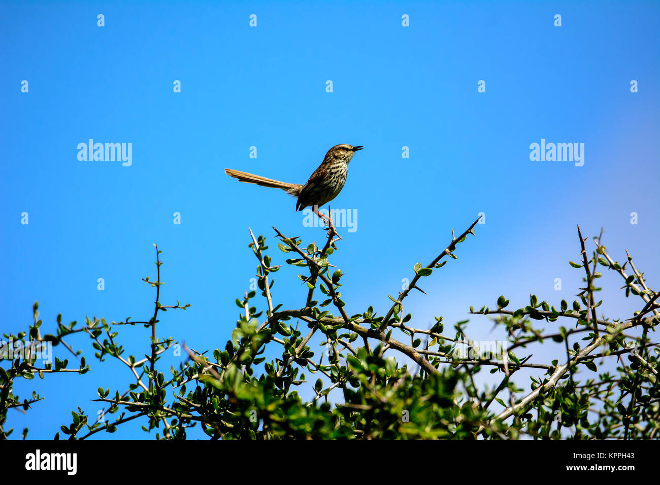 Cape mocking bird at the top of a tree - Stock Image