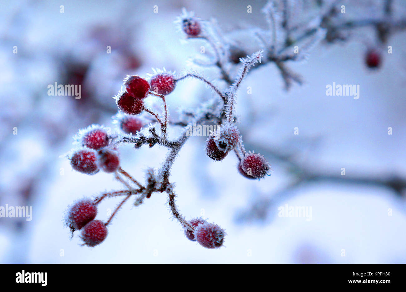 Ice covered berries in the Scottish Borders, as fresh warnings for ice have been issued for parts of Scotland as - Stock Image