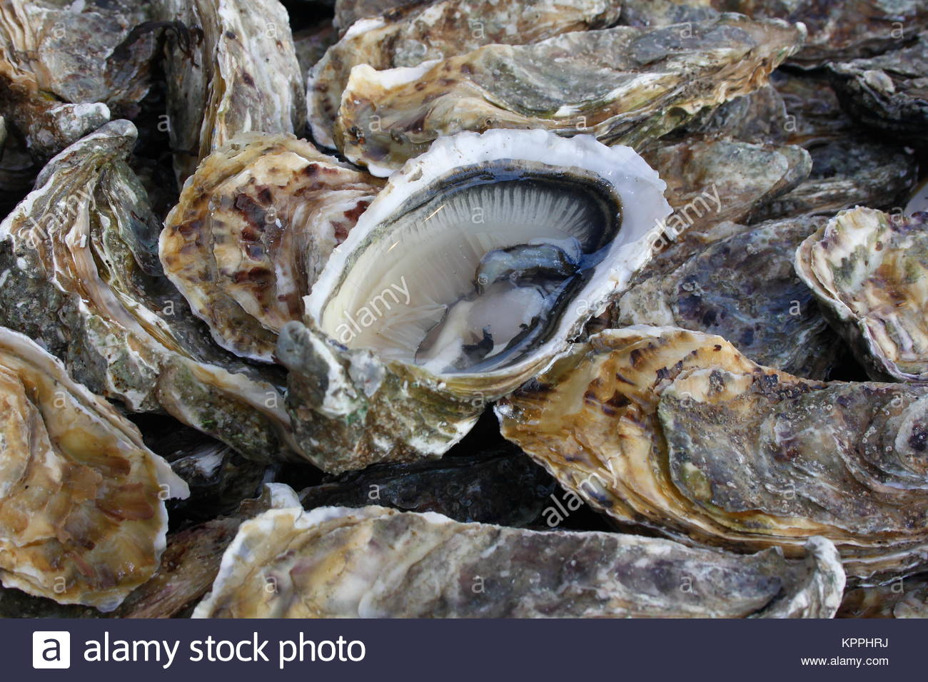 European Flat Oyster Stock Photos & European Flat Oyster ... - photo#40