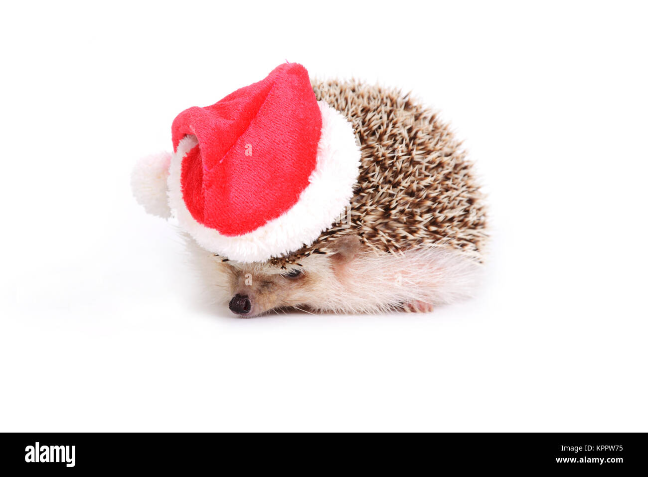 Little hedgehog wearing red santa claus hat on white background. - Stock Image