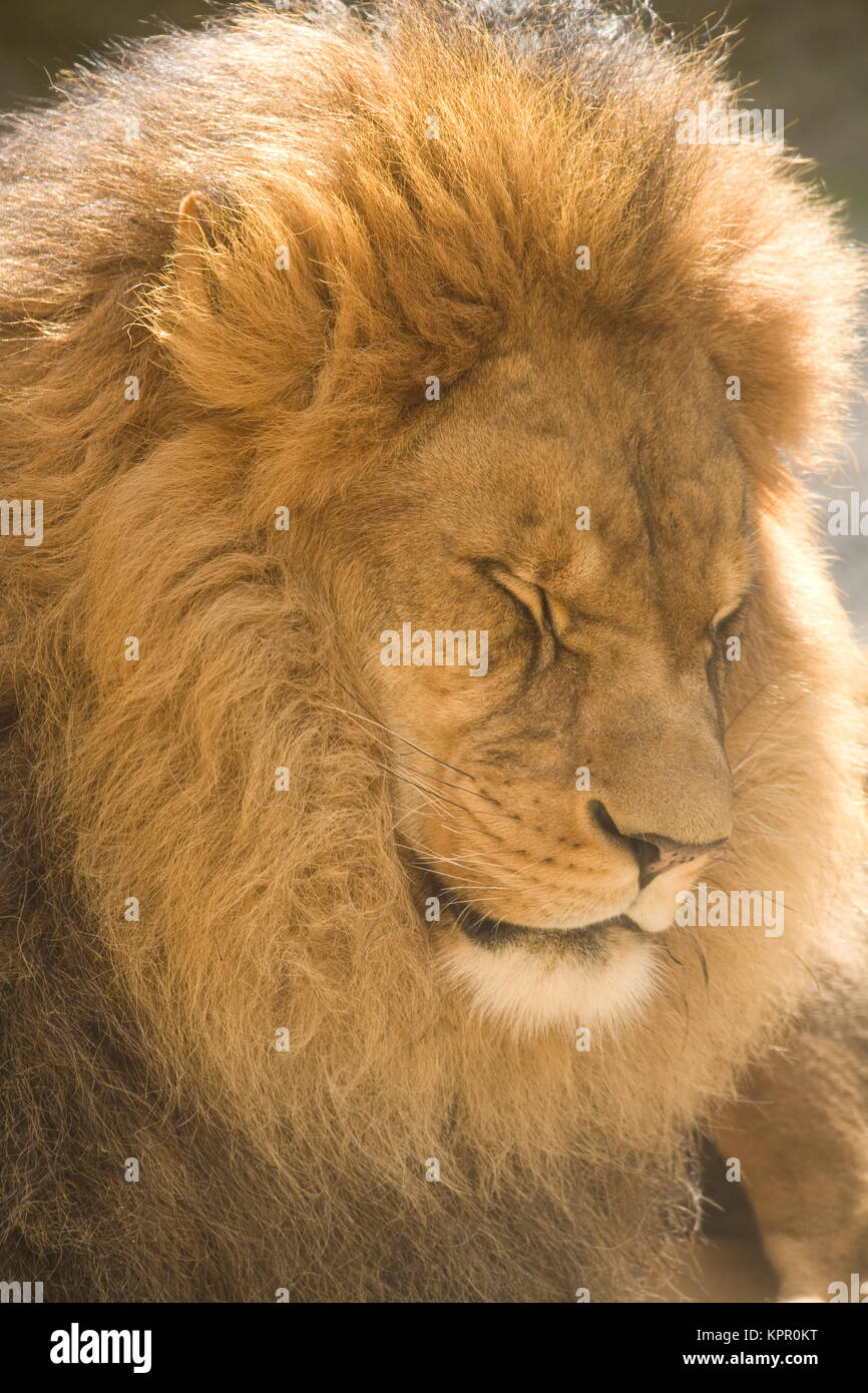 Europe, Germany, Wuppertal, the Zoo, male lion (Panthera leo).  Europa, Deutschland, Wuppertal, Zoo Wuppertal, maennlicher Stock Photo