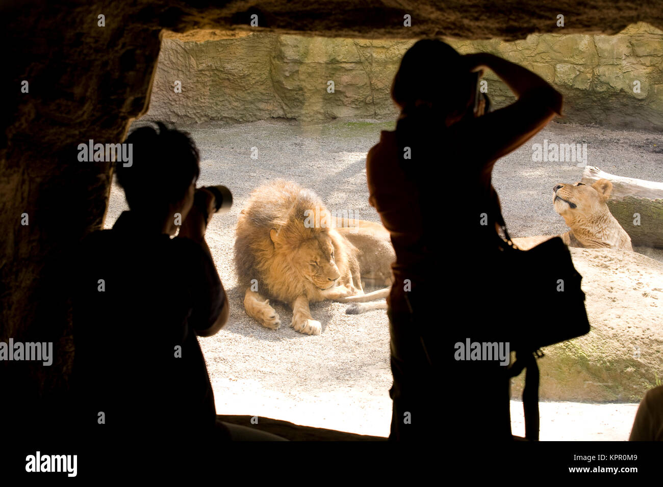 Europe, Germany, Wuppertal, the Zoo, visitors photograph lions.  Europa, Deutschland, Wuppertal, Zoo Wuppertal, - Stock Image
