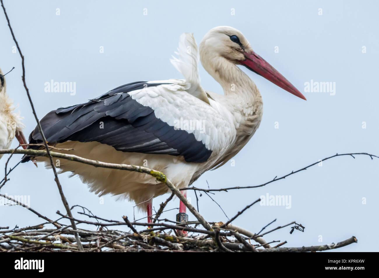Weißstörche beim Nestbau und der Nestpflege Stock Photo