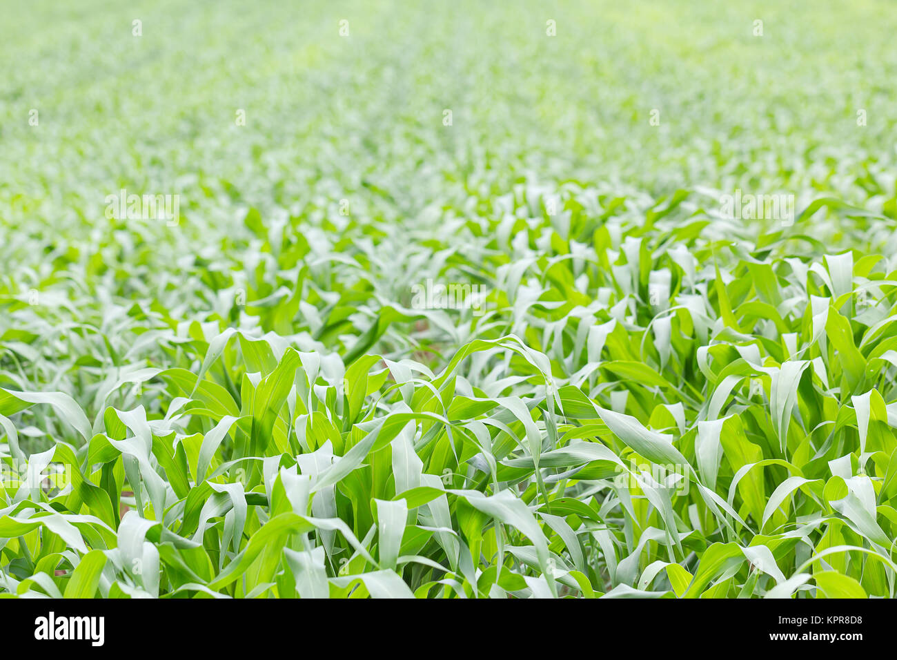 Close up Green grass field - Stock Image