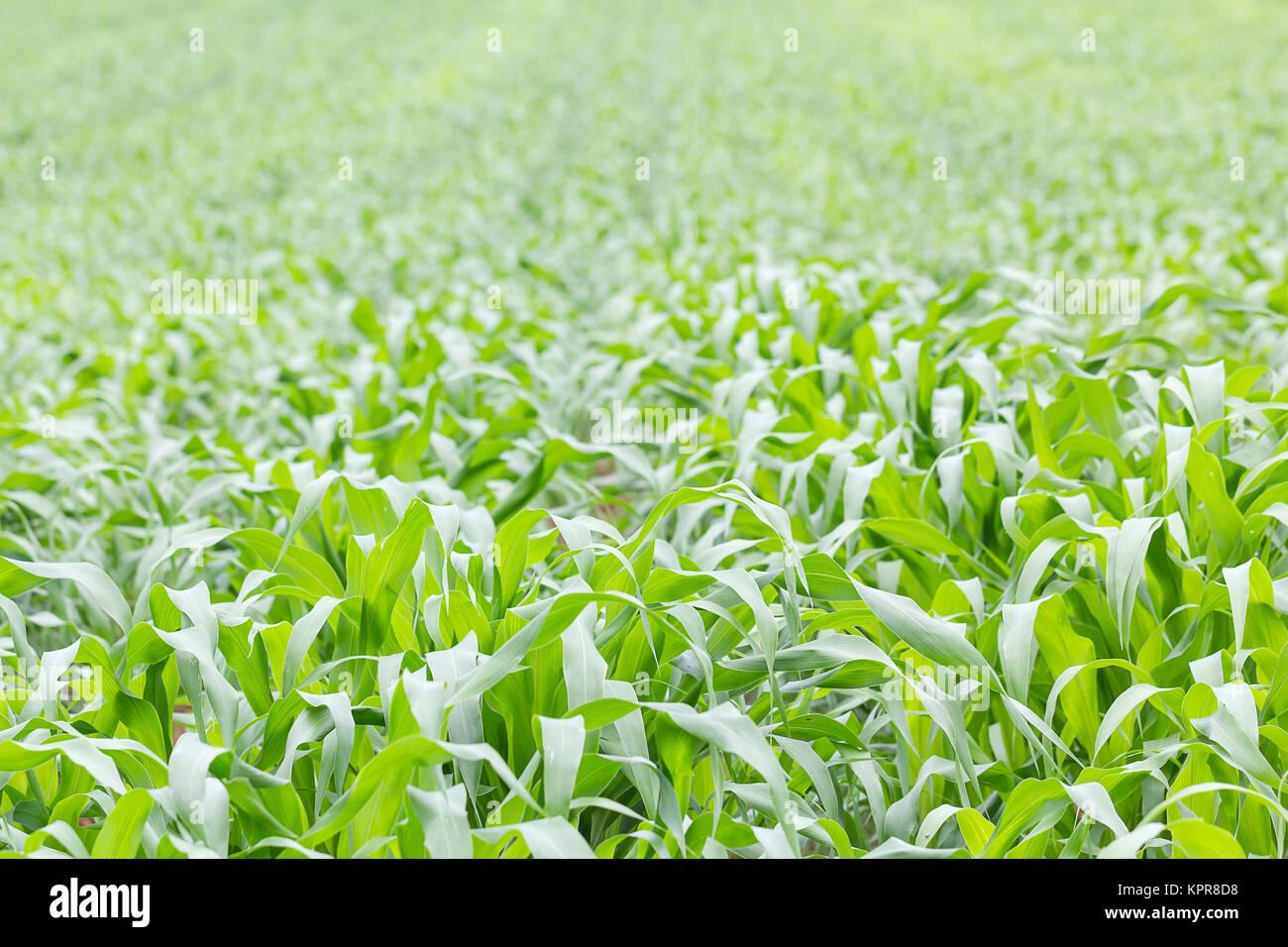 Close up Green grass field - Stock Image