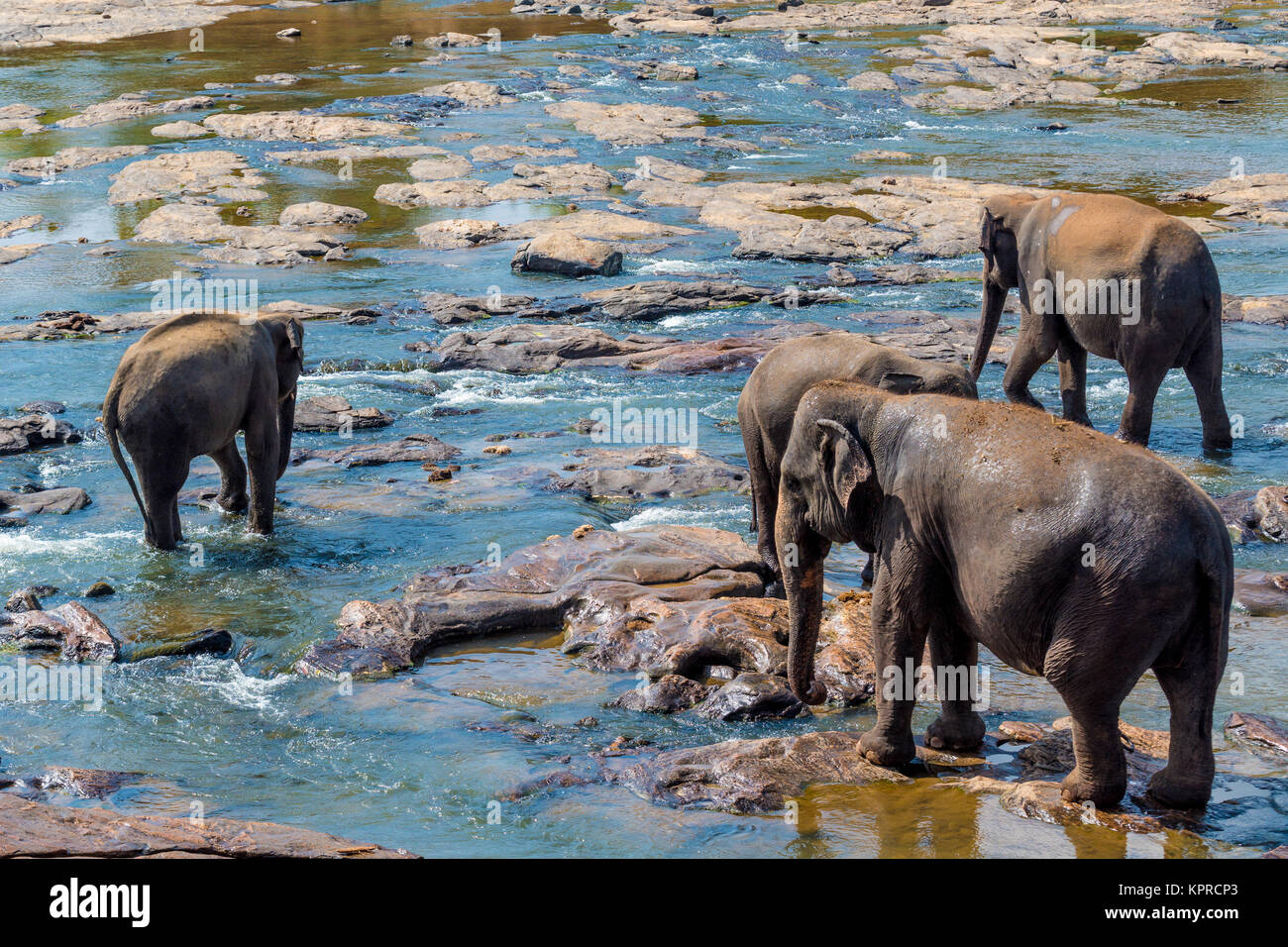 Elephants bathing in the river - Stock Image