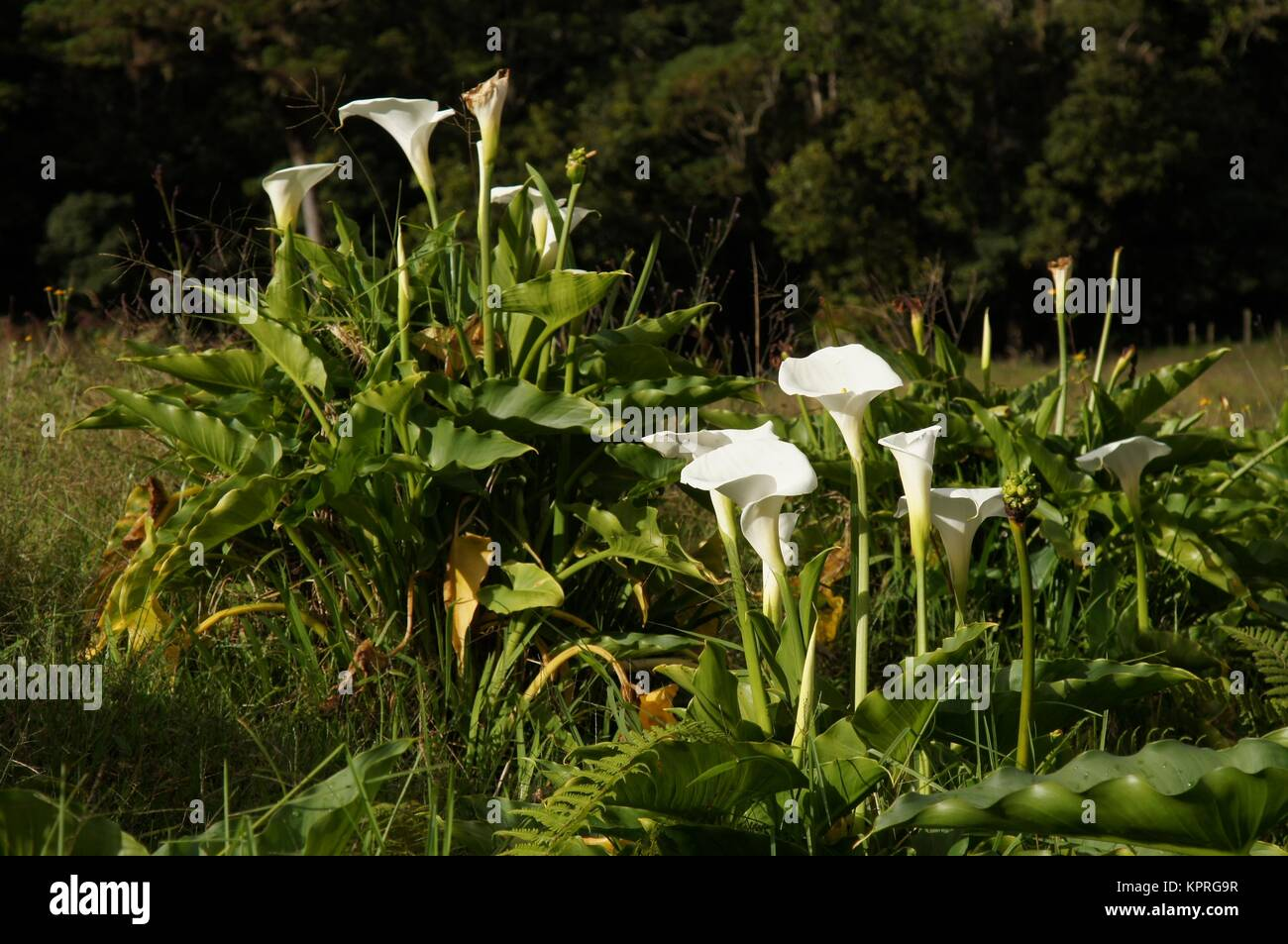 Wild White Calla Lilies Growing In The Meadow Panama Stock Photo