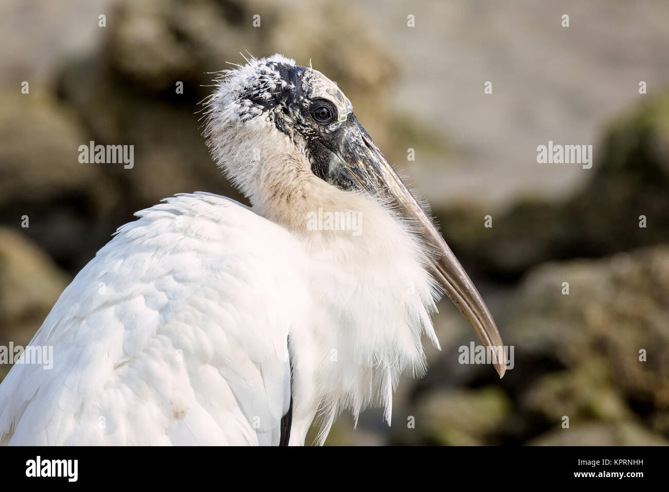 A portrait of a wild stork in Florida, USA. Color Image, Day - Stock Image