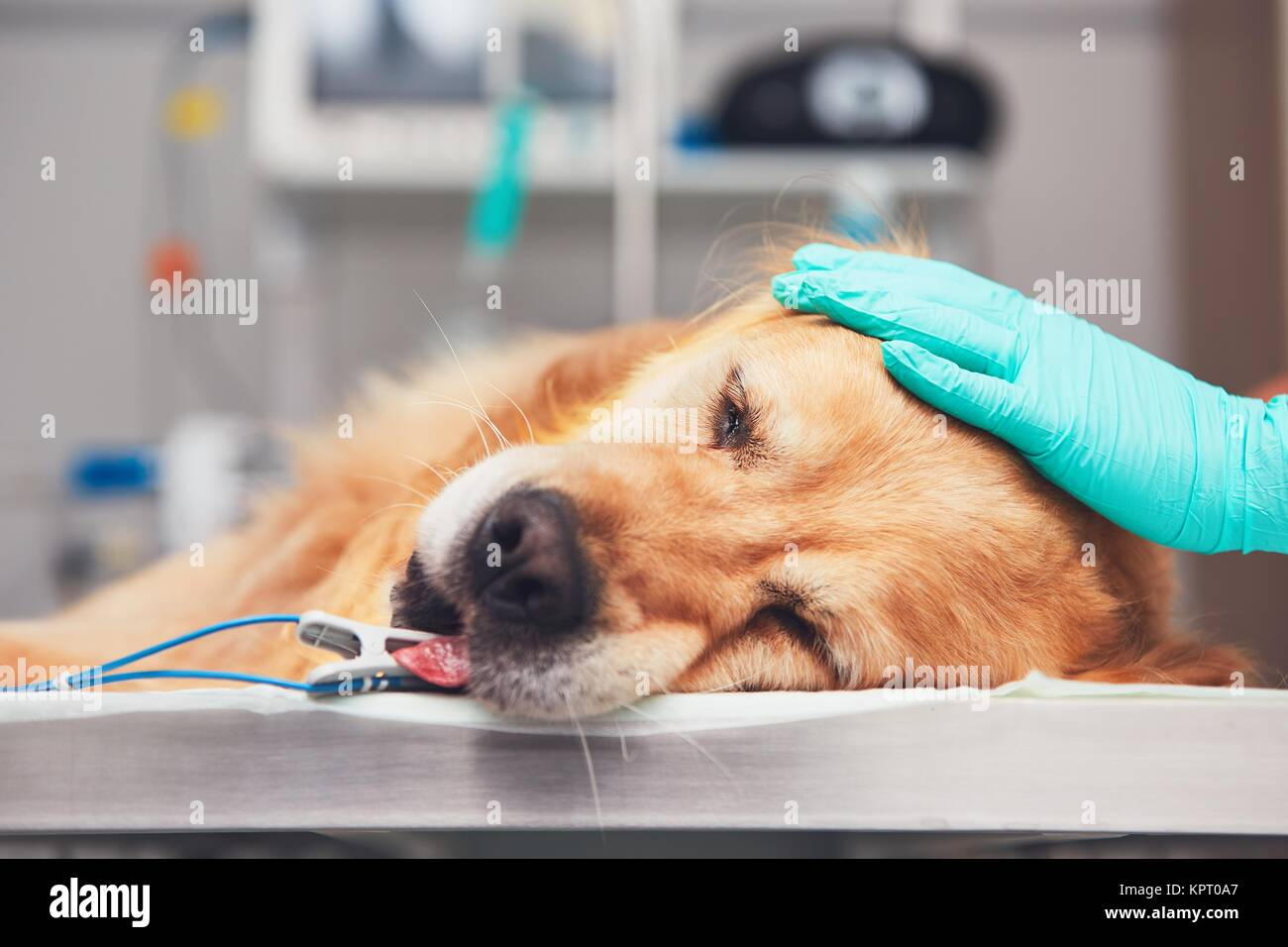 Dog in the animal hospital. Golden retriever lying on the operating room before surgery. - Stock Image