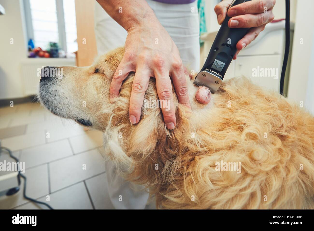 Golden retriever in the animal hospital. Veterinarian preparing the dog for surgery. - Stock Image