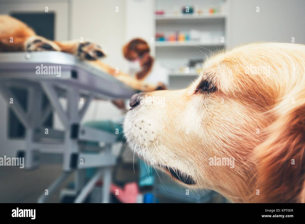 Two brothers of the golden retriever in the animal hospital. Veterinarian preparing the dog for surgery. Thames - Stock Image