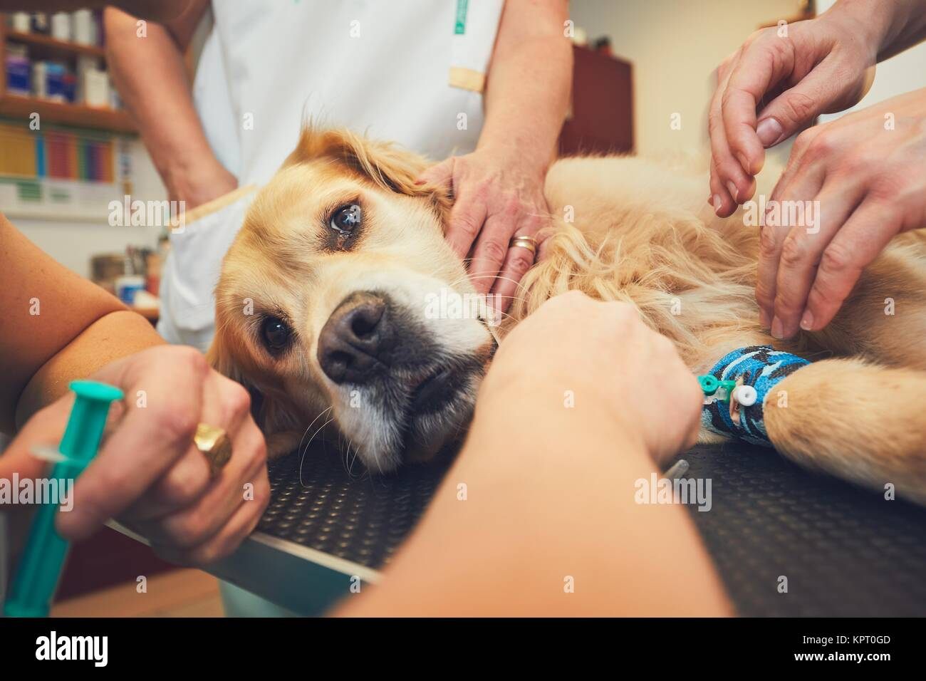 Golden retriever in the animal hospital. Veterinarians preparing the dog for surgery. - Stock Image