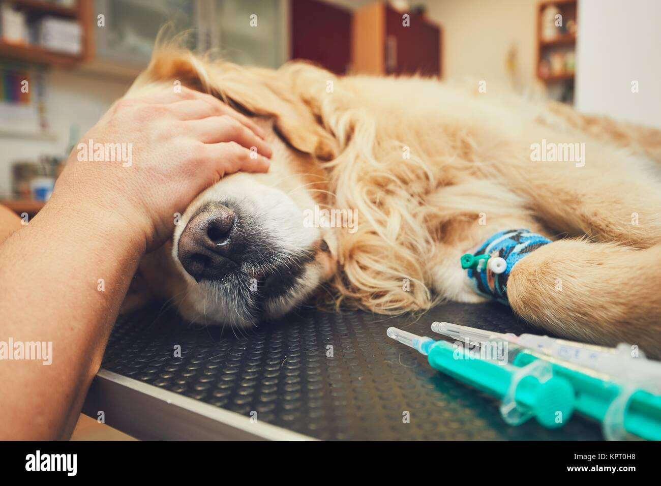 Golden retriever in the animal hospital. Veterinarian preparing the dog for surgery. Stock Photo