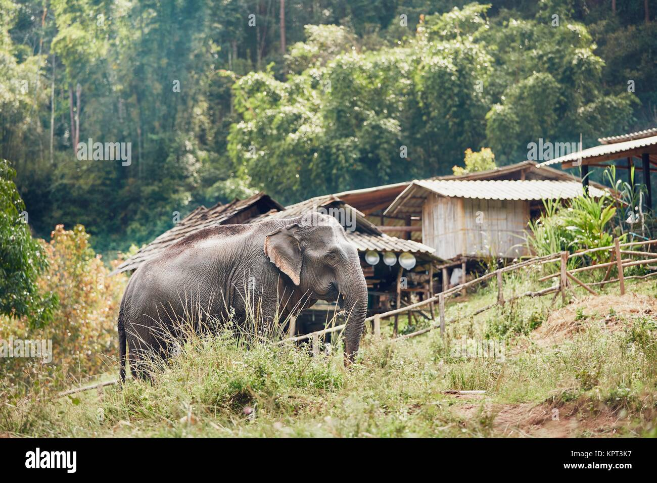 Asian elephant near small village in Chiang Mai Province, Thailand. - Stock Image