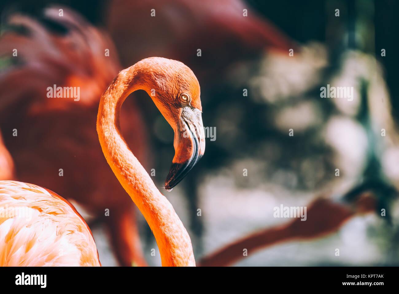 Pink Flamingo Bird Portrait In Wilderness - Stock Image