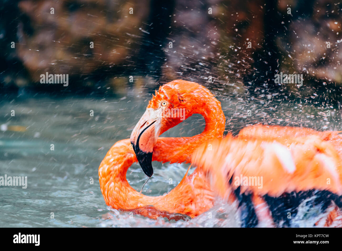 Pink Flamingo Bird Portrait In Wilderness - Stock Image