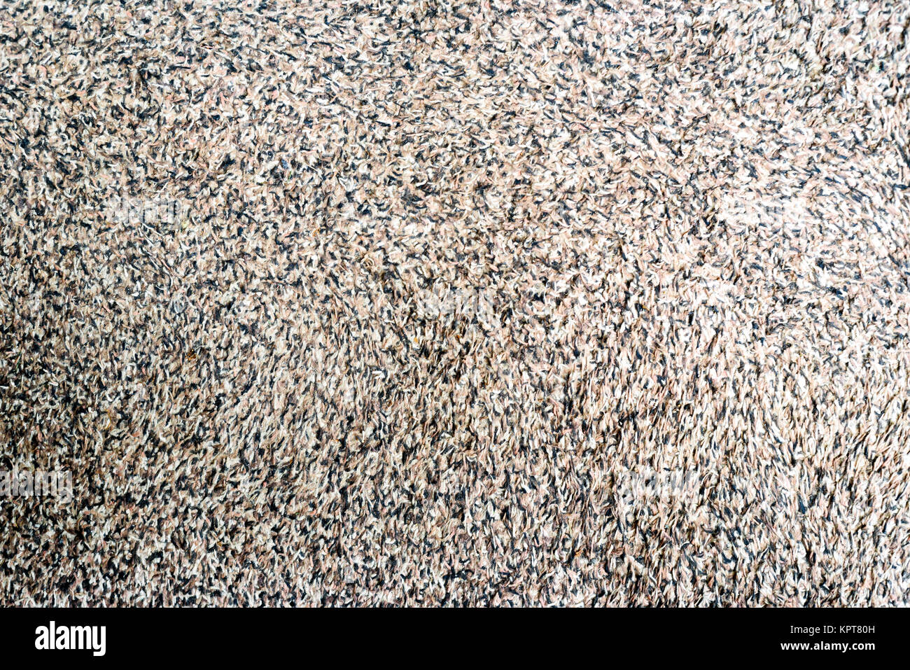 Grubby shagpile carpet texture background laying on the floor in brown and white - Stock Image