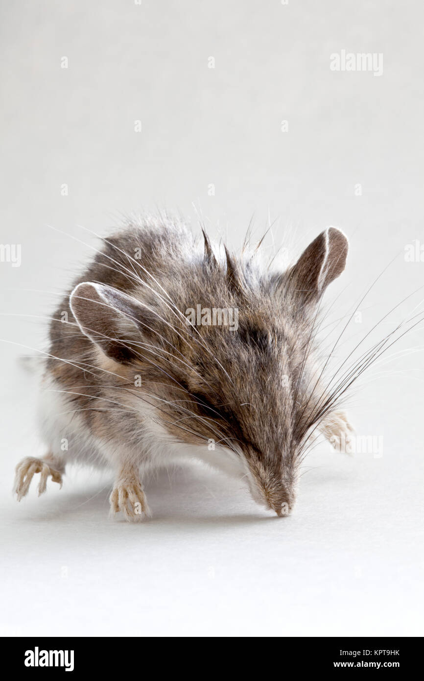 Immature  dead field mouse 'Peromyscus californicus'. - Stock Image