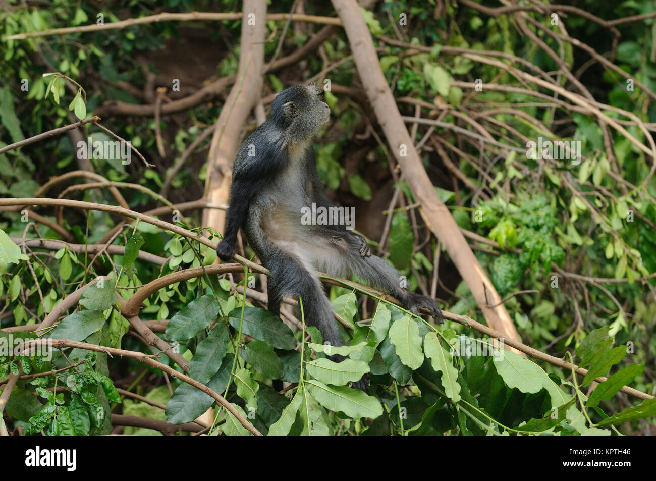 Blue monkey's (Cercopithecus mitis)  in Lake Manyara National Park - Stock Image
