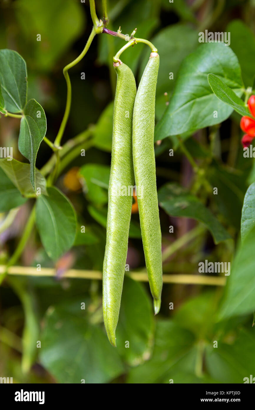 Runner beans growing on an allotment (Spitalfields City Farm, London, UK) - Stock Image