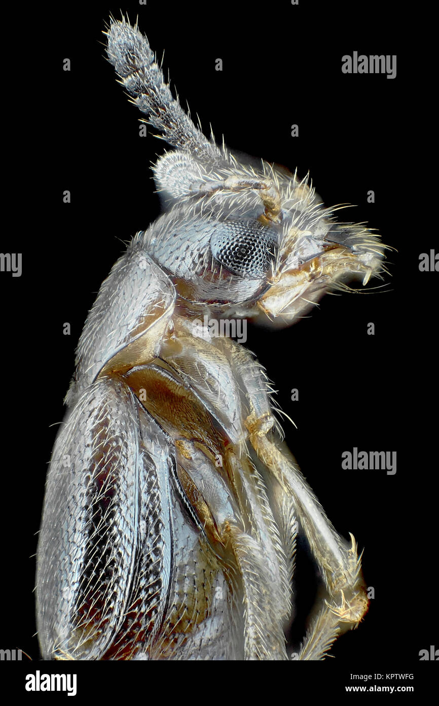 Reflected light micrograph of a fungivore rove beetle (Tribe Oxypodini), pictured area is about 1.6mm tall - Stock Image