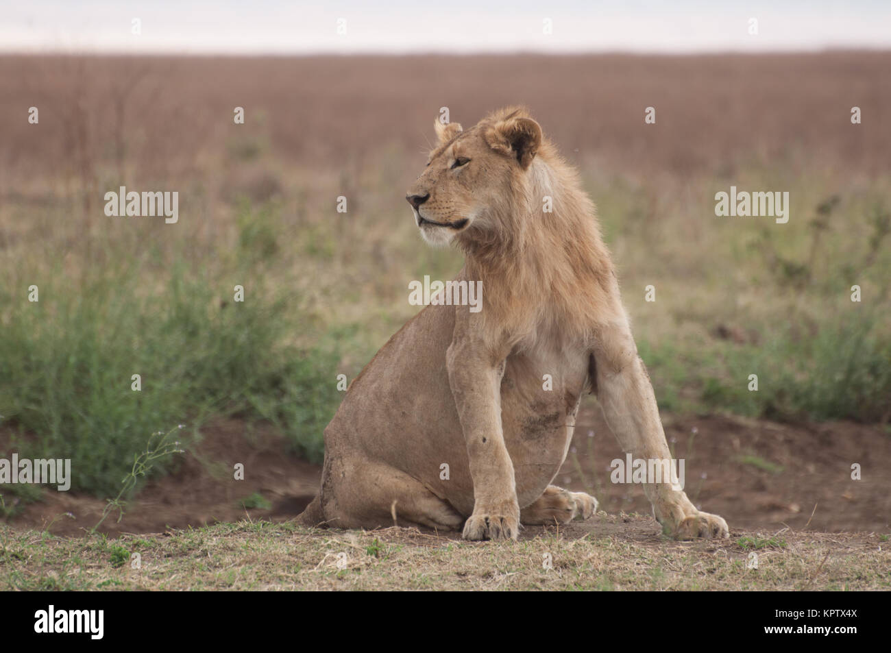 Pregnant Lioness in the Serengetti. - Stock Image