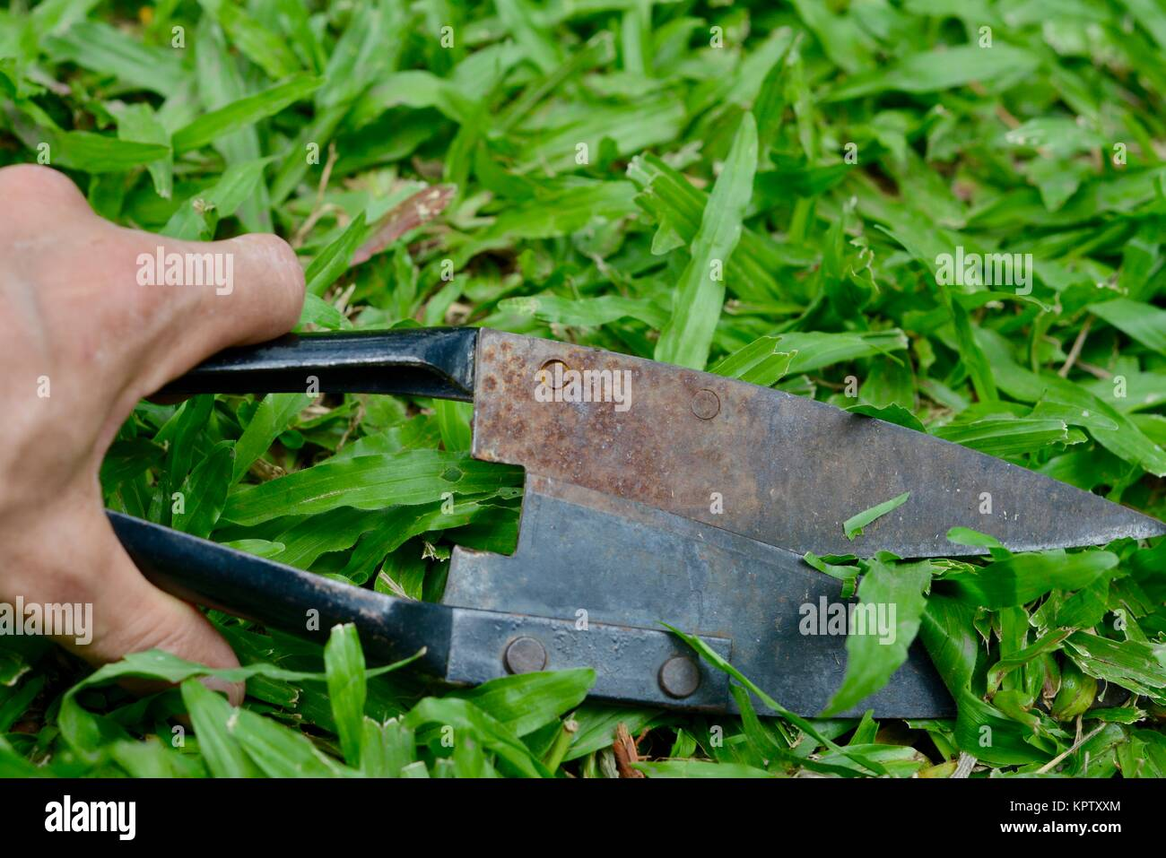 Clipping grass with straight edge hand shears, Townsville, Queensland, Australia - Stock Image