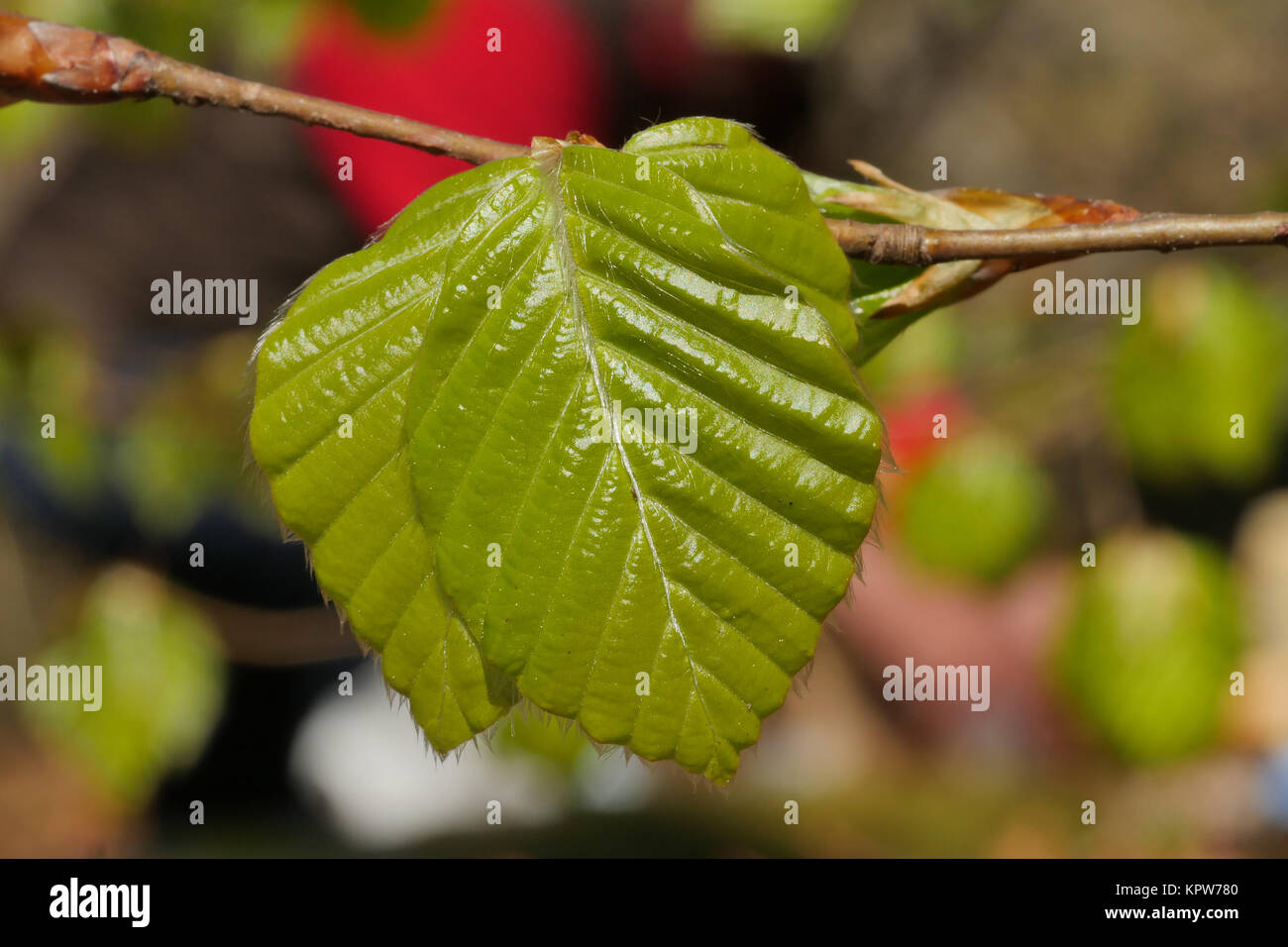 close-up on a tree green leaf - Stock Image