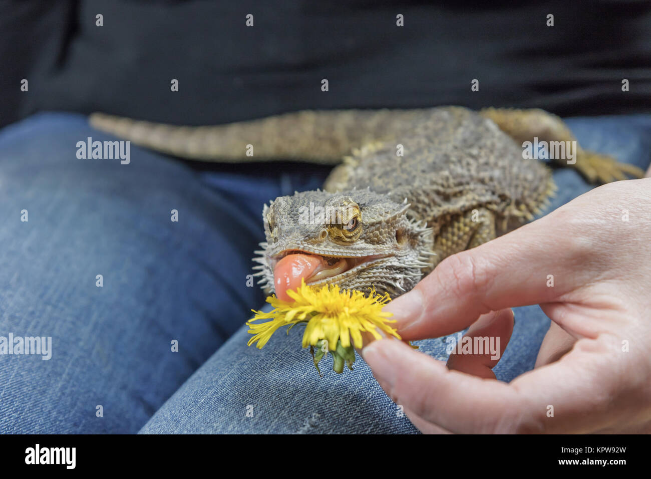 Agama with a protruding tongue is eating dandelion Stock Photo