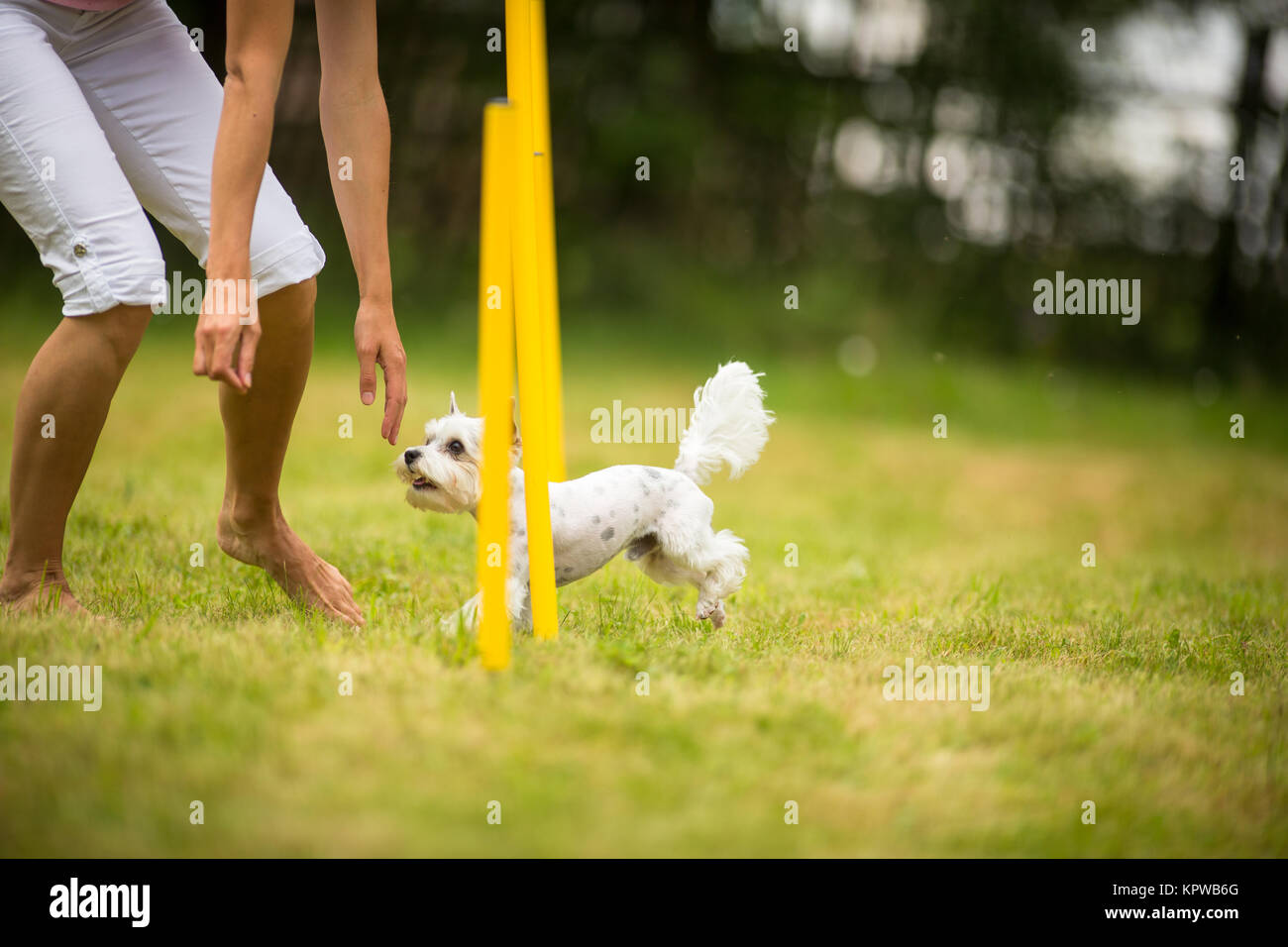 Cute little dog doing agility drill - running slalom, being obediend and making his master proud and happy - Stock Image