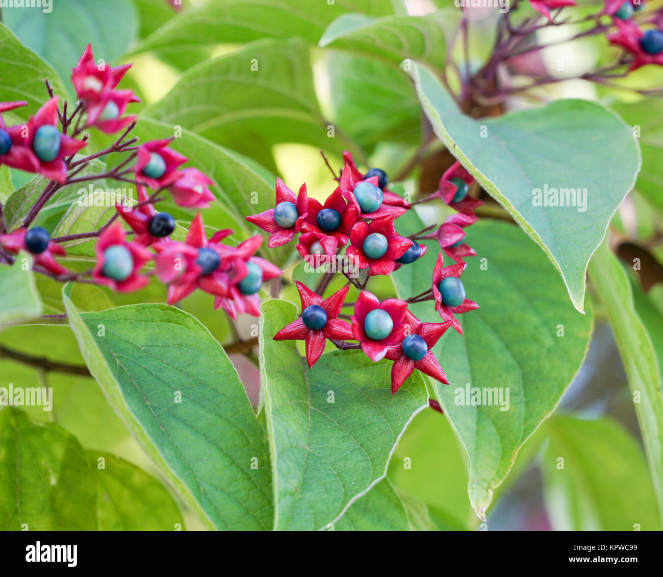 Clerodendrum trichotomum seed pods and leaves closeup, showing the distinctive bright red calyxes. - Stock Image