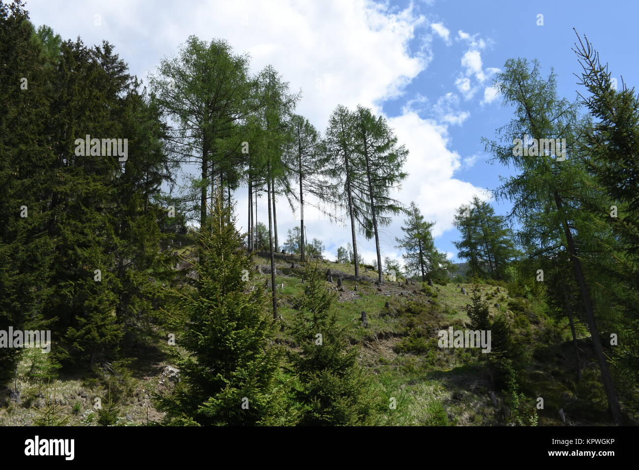 forest,protected forest,mountain forest,coniferous forest,trees,east tyrol,matrei,gloss Stock Photo