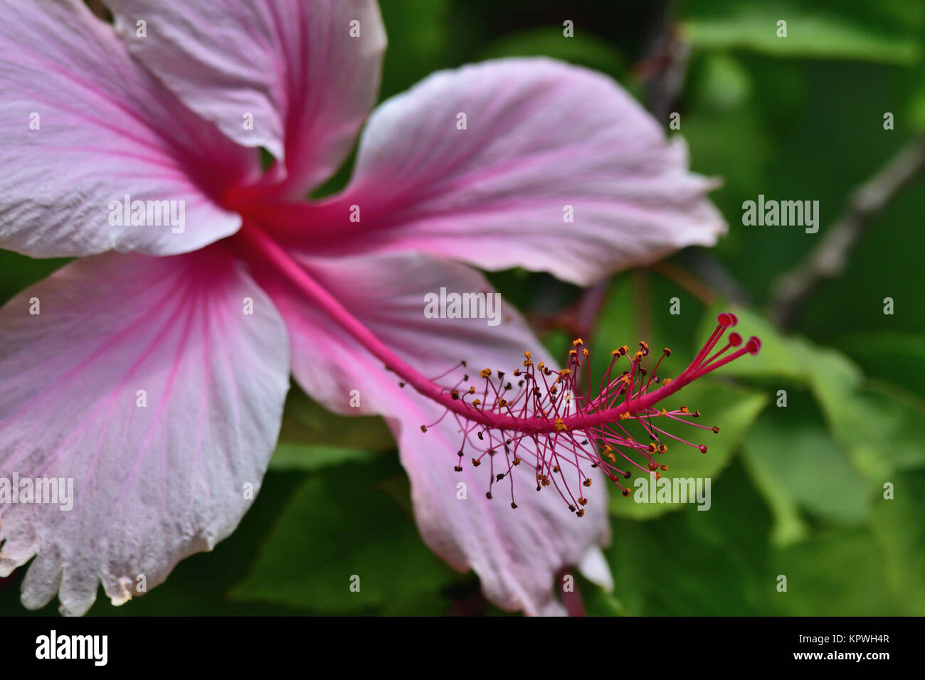 Hibiscus flowers photo stock photos hibiscus flowers photo stock australian pink hibiscus flowers stock image izmirmasajfo