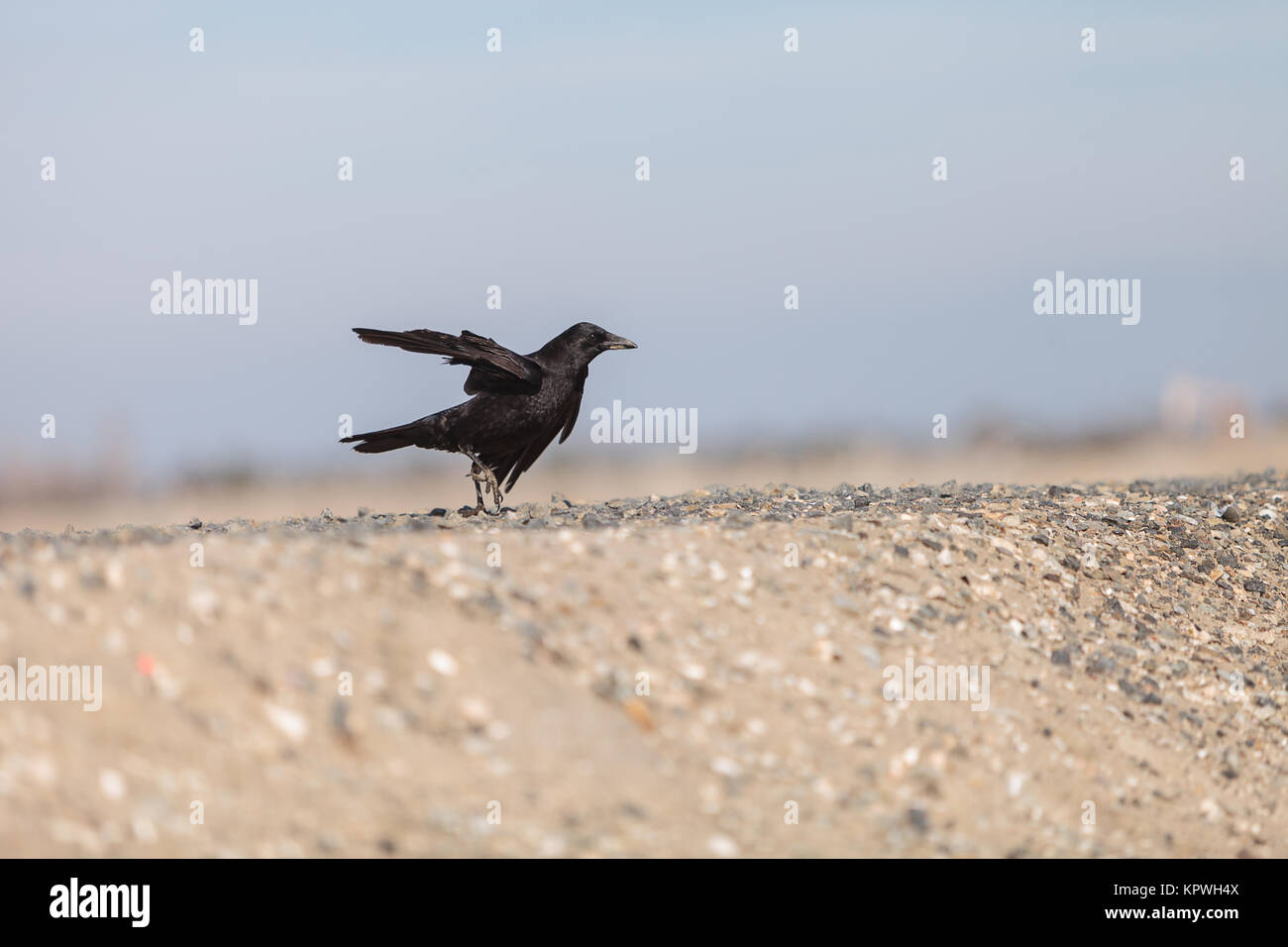 Black raven bird flies across a marsh - Stock Image
