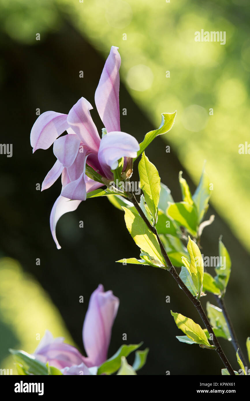 Lily like flower stock photos lily like flower stock images alamy flower of the lily like magnolia tree stock image izmirmasajfo Image collections