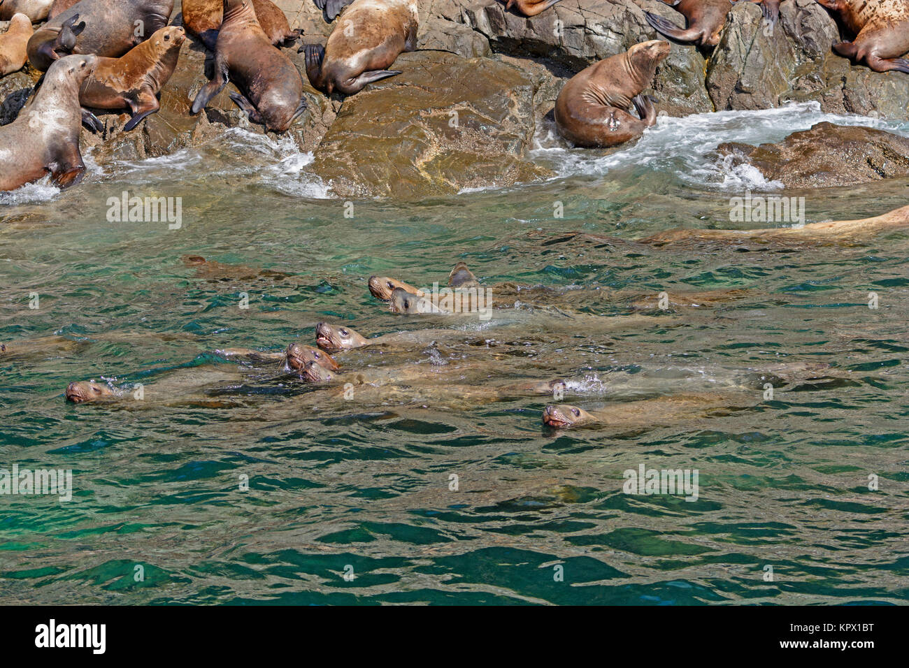 Stellar Sea Lions Swimming along the Shore - Stock Image