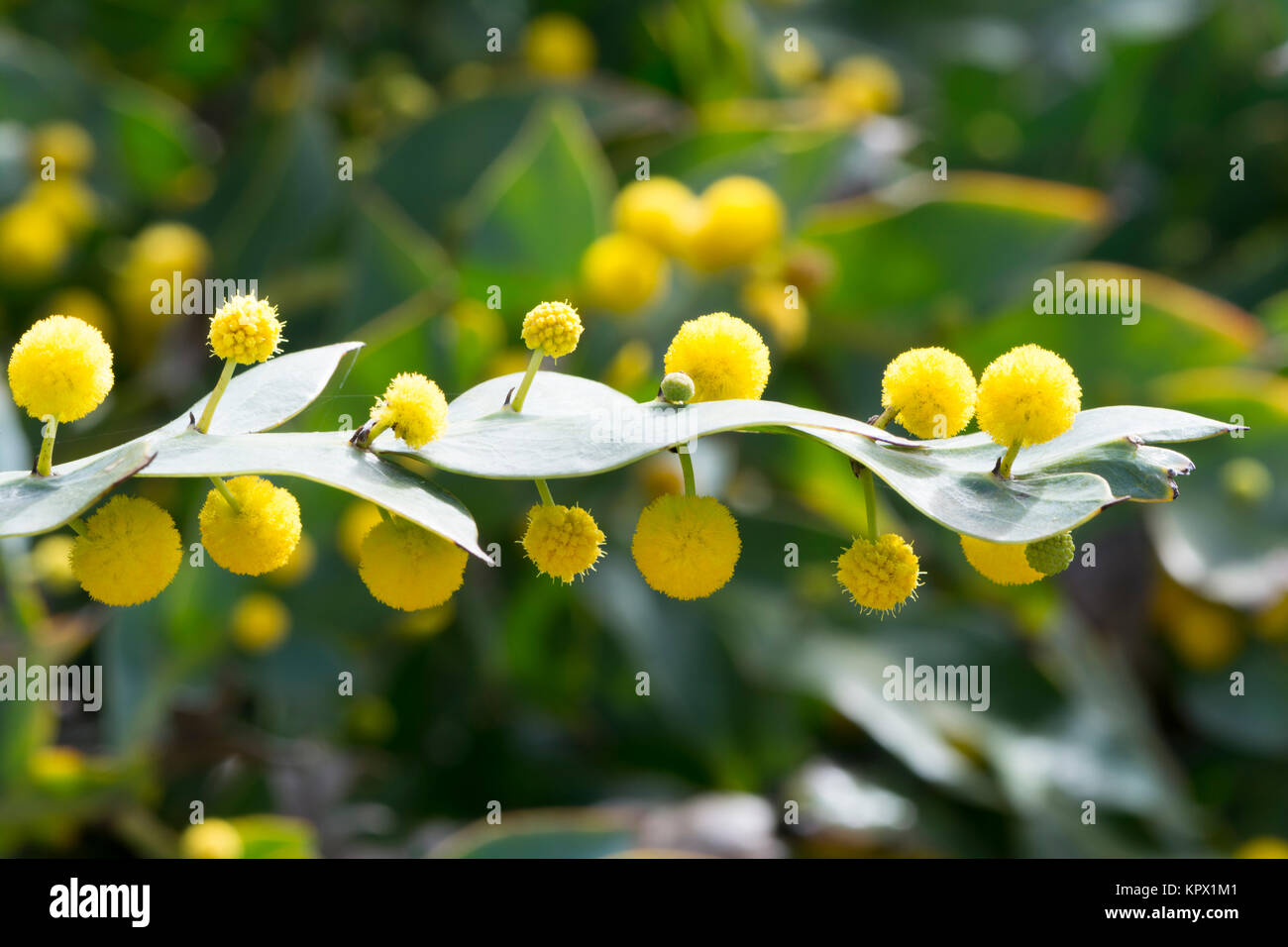 Yellow Wattle Stock Photos Yellow Wattle Stock Images Alamy
